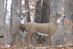Regal Whitetail Doe - 5965MD